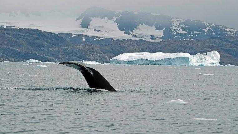 Buckelwal Grönland